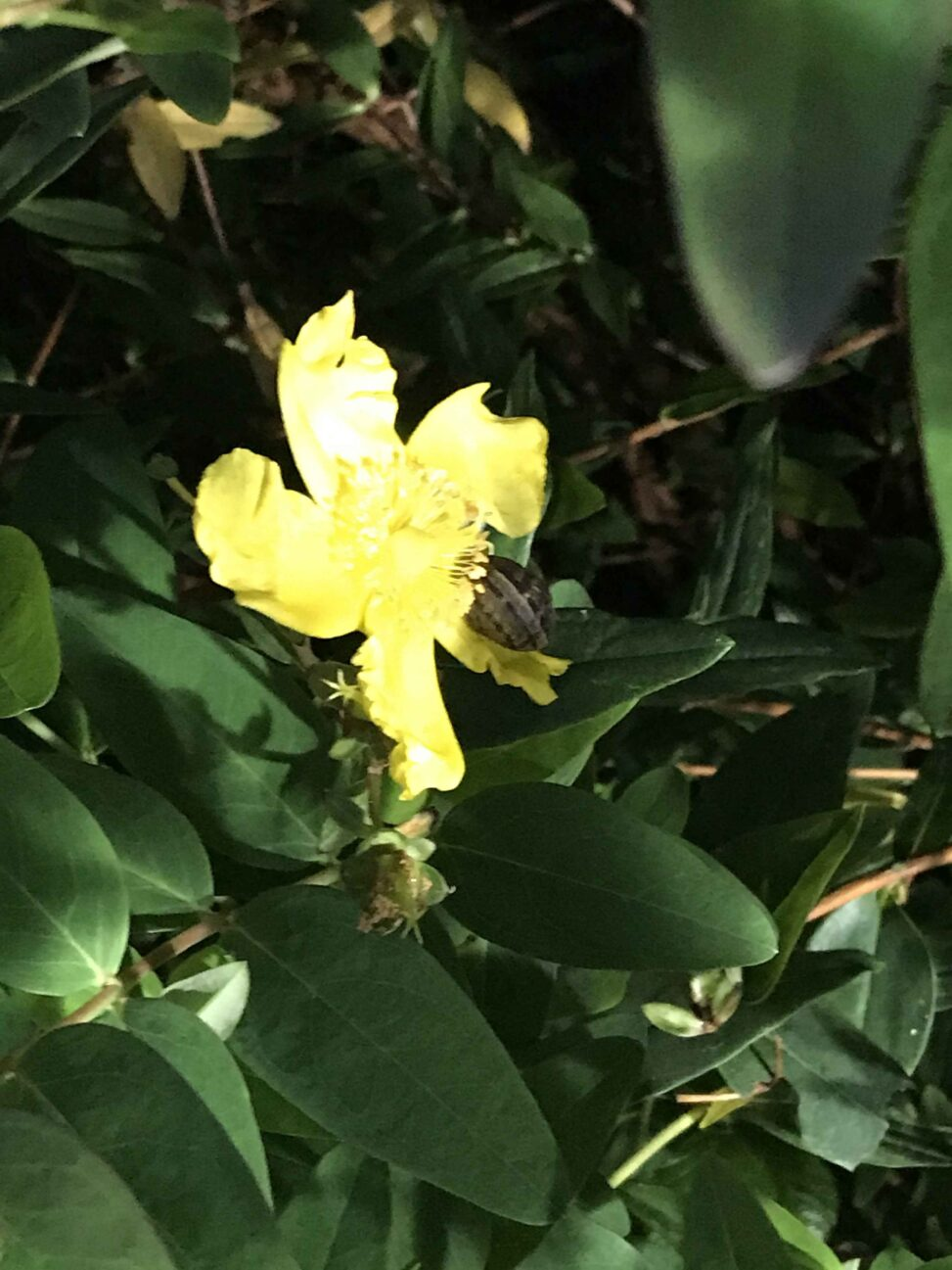 Templebreedy Hypericum Calycinum-Cepaea Nemoralis Snail