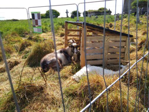 2020 Templebreedy Goats